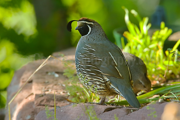 California Quail Pair