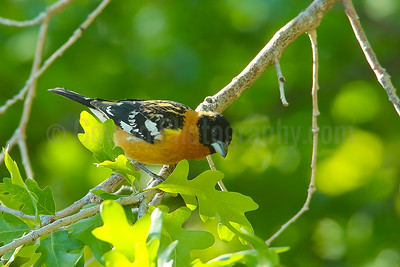 Black-headed Grosbeak (M)