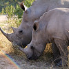 'Rainbow Rhinos' - Baby and Mamma White Rhino during morning feed.