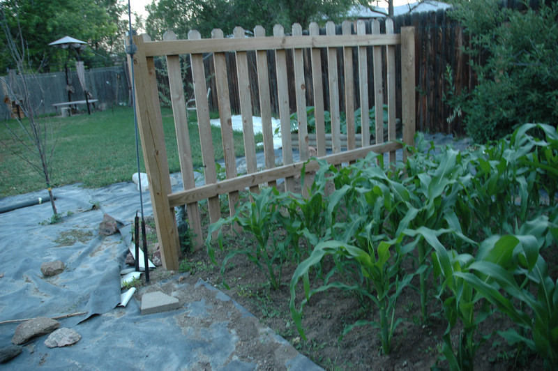 first year of the corn, you can see I have not added any of the other beds, this was last summer. I had 6 beds then, now I have 11 :)