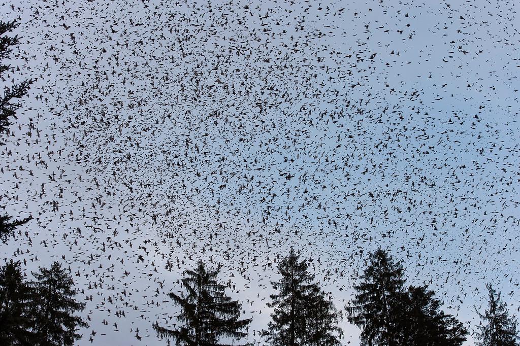 SWITZERLAND MIGRATORY BIRDS BRAMBLING