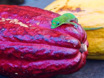 A gecko lizard on a ripe cacao pod.