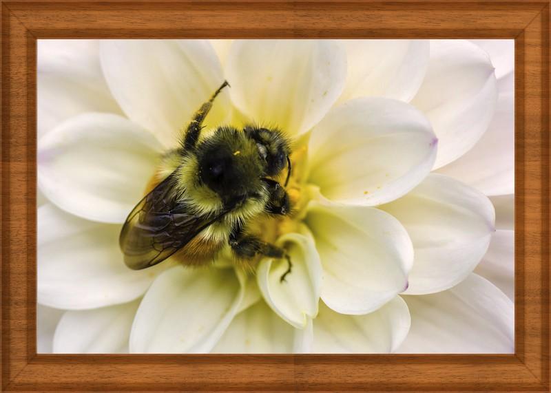 Bee In White Dahlia