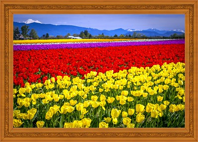 Skagit Valley Tulips Farm,Washington State