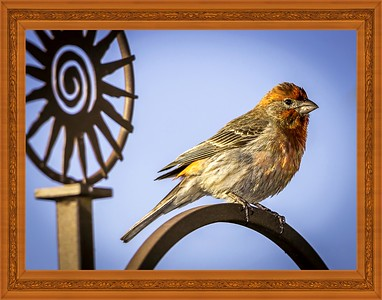 House Finch in the Pearch