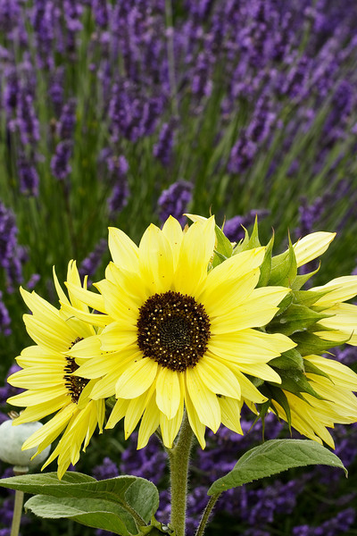 Sunflowers at Jardin du Solei Lavender Farm, Sequim