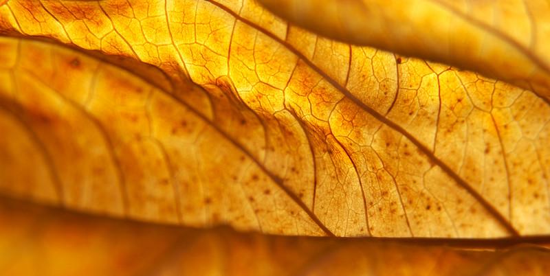 Shriveled Hydrangea macrophylla leaf back-lit in November