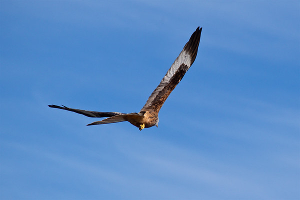 Red Kite in Flight 2