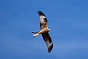 Red Kite in Flight 1