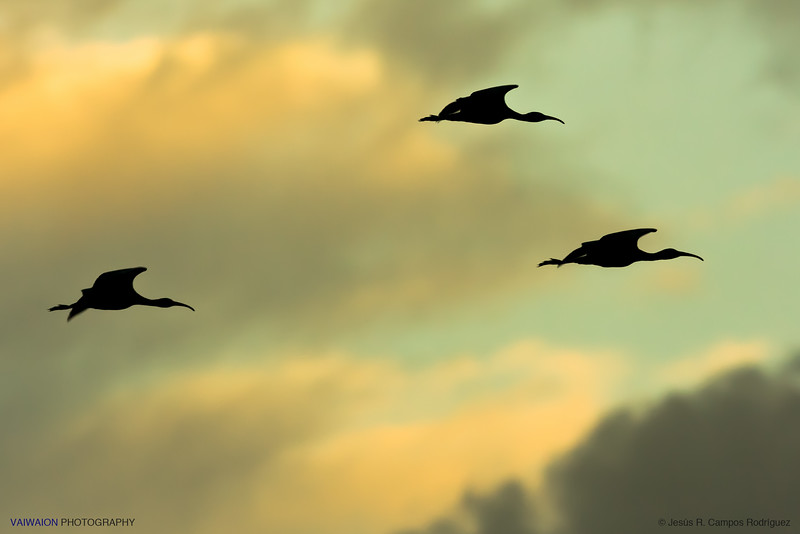 Ibises at sunset