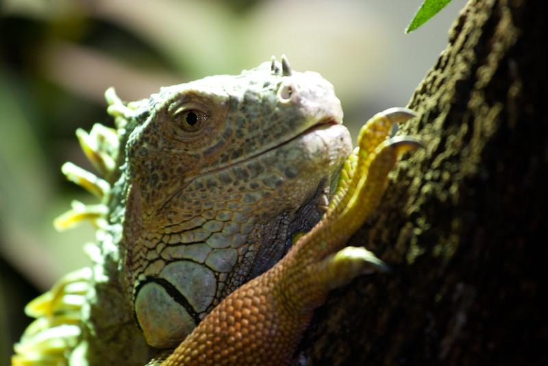 Green iguana (C)