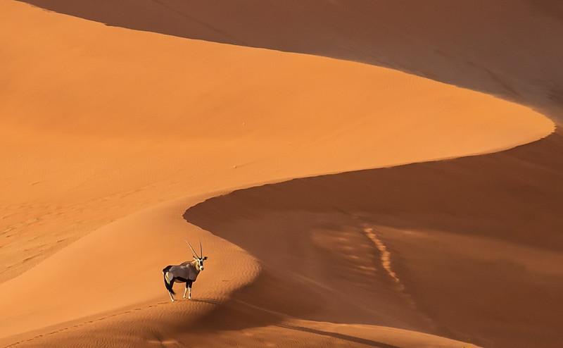 Oryx on Dune, Namibia