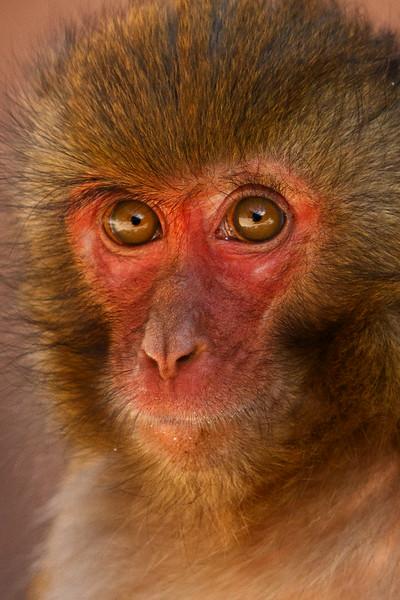 Temple Monkey, Yunnan,  China