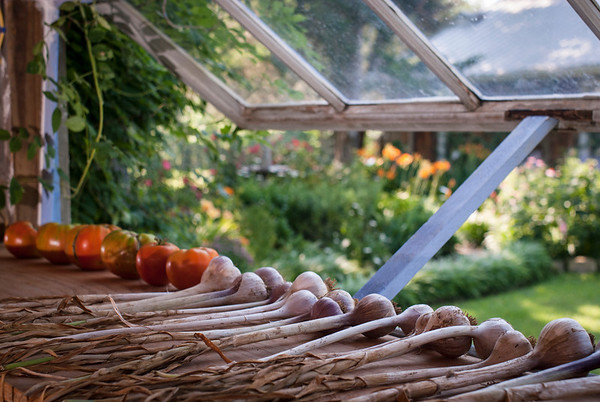 A window sill in the garden shed serves as a shelf for freshly harvested tomatoes and drying garlic.