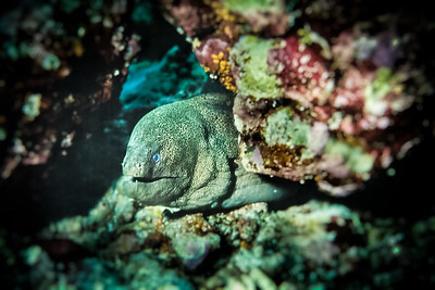 Giant Moray Eel - Maldives