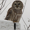 When you simply, absolutely HAVE to turn the car around and investigate!  Sleepy barred owl on a signpost en route back from skiing.