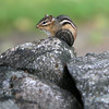 Allegra Boverman/Gloucester Daily Times. A chipmunk perches on the stone wall at Essex Elementary School on Friday.