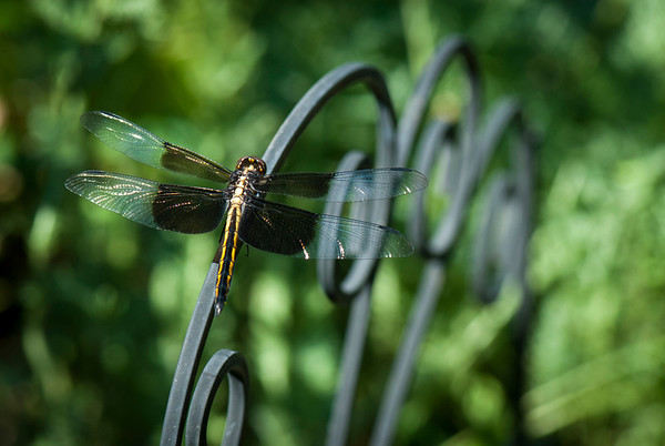 A female widow skimmer dragonfly perches on a small trellis in Trudy Sudberry's garden.