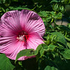 This perennial hibiscus produces blossoms the size of a plate.