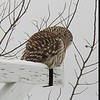 Barred owl seen from speeding car. Again. This makes twice since Thanksgiving this has happened. Last time, I shot a few from inside the car, but when I got out, it flew away.<br /> <br /> This time, I pushed the boundaries. I shot a few photos from inside the car, then walked slowly across the street, waiting for the owl to fly off.<br /> <br /> It didn't, simply swiveling its neck to look at me, brown eyes alert. I paused, and it relaxed again. I took another step...a photo...another step, over the snowbank. With the crunch of the snow, the owl again looked my way...and right at me. We held that gaze for a few seconds, and, seemingly unconcerned, it looked away again. Perhaps it was searching for something in the snow below. Perhaps it was trying to stay warm. Perhaps it was just tired. I stepped forward again...an was greeted by that owlish gaze, liquid brown knowledge. It was a cold day, but that's not why I shivered just then.<br /> <br /> I shot a few more photos, the owl watching me, until it made itself tall, looked out and above me, and took off in complete silence across the road and off into the safety of the trees, leaving me happy and thanking the universe...again.<br /> <br /> I. Was. Giddy.