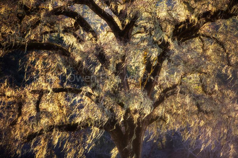 Mossy Oak Tree, Northern California