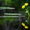 Water Lilly with Flowers