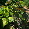 Trudy Sudberry says these pole beans offer great color interest in the garden and fine flavor on the plate.