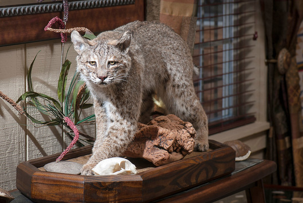 A bobcat prowls in a display in the guest house.