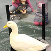 Allegra Boverman/Gloucester Daily Times. During the Audubon Ark program held at the Children's Library at the Sawyer Free Library on Wednesday morning, a duck named Paddy and a rabbit named Jasmine from Drumlin Farm in Lincoln paid a visit. From left are: Jessica Guest and her son Beckett Guest, 3, and Annie Loring, 4. Children learned about each animal's habits and characteristics.
