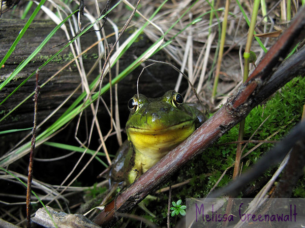 """Who knew that frogs, up close, actually have Mona Lisa smiles??<br /> <br /> """"Kermit Theee Frog"""" appeared to be unfazed by my presence. I tried reassuring the frog that I meant it no harm, and, if it stayed for just a bit, I'd not even try to pick it up and say hi. I was able to shoot this and a few other photos from about six inches away from the frog.<br /> <br /> In thanks for its cooperation, I was true to my word. No frog slime on these hands.<br /> <br /> Not that day, anyway..."""