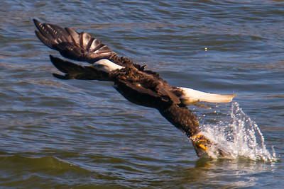 A bald eagle catches a fish at Conowingo Dam (Image taken by Patrick R. Kane on 21 Nov 2012 with Canon EOS-1D Mark IV at ISO 400, f7.1, 1/1250 sec and 560mm)