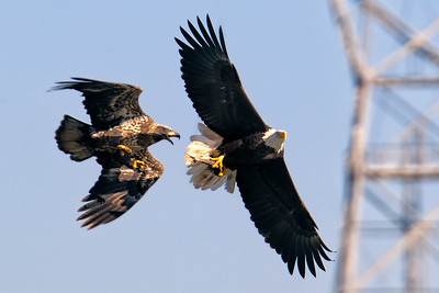 Two bald eagles fight over a fish at Conowingo Dam (Image taken by Patrick R. Kane on 21 Nov 2012 with Canon EOS-1D Mark IV at ISO 400, f7.1, 1/1250 sec and 560mm)