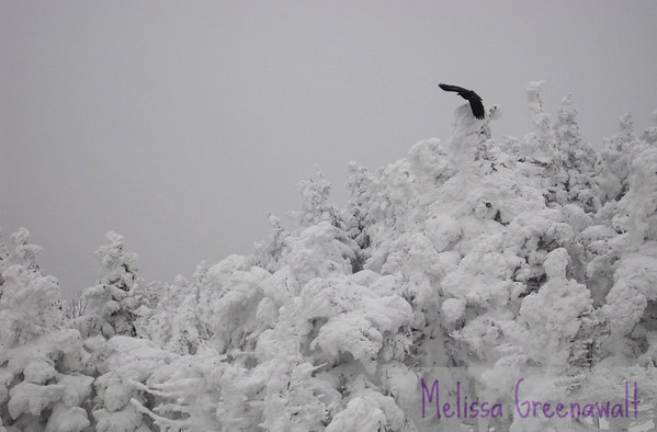 Timing the raven takeoff just right; Cannon Mountain, NH.