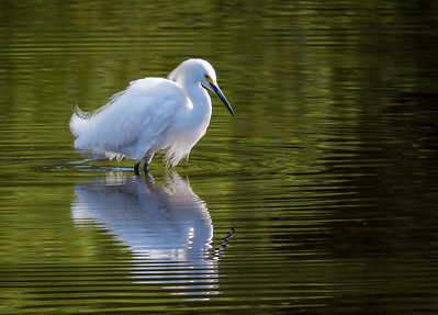 The Beautiful Snowy Egret
