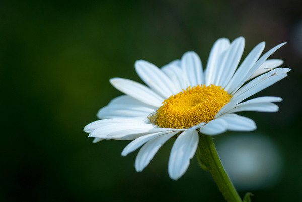 A daisy blooms in the cottage garden designed by Trudy Sudberry at La Ferma.