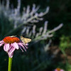 A small crab spider eyes eyes a skipper on a purple coneflower in one of the gardens at La Ferme.