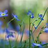 Blue Flowers in the Forest