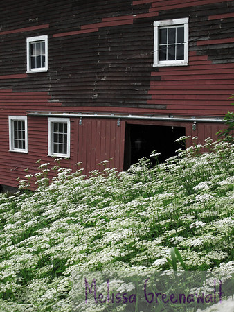 Queen Anne's Lace flows down an embankment, a happy contrast with a weathered barn in Sugar Hill.