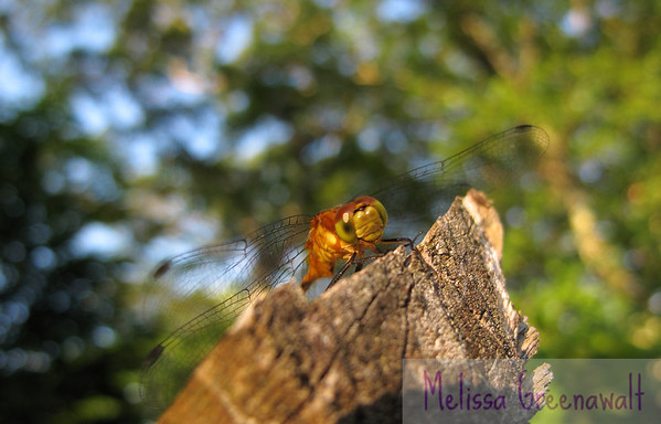 Up close and personal with a Meadowhawk dragonfly in Hancock, NH. She stayed still just long enough for me to get this shot, then danced tantalizingly, just out of reach.<br /> <br /> Dragonflies are amazing eating machines. Their delicate looking wings conceal a strong ability for agile flight; their compound eyes allow them to see prey in all directions; and their mouthparts...don't even get me started. Freakin' cool.