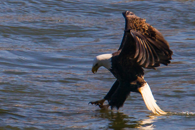 A bald eagle getting ready to catch a fish at Conowingo Dam (Image taken by Patrick R. Kane on 21 Nov 2012 with Canon EOS-1D Mark IV at ISO 400, f7.1, 1/1250 sec and 560mm)