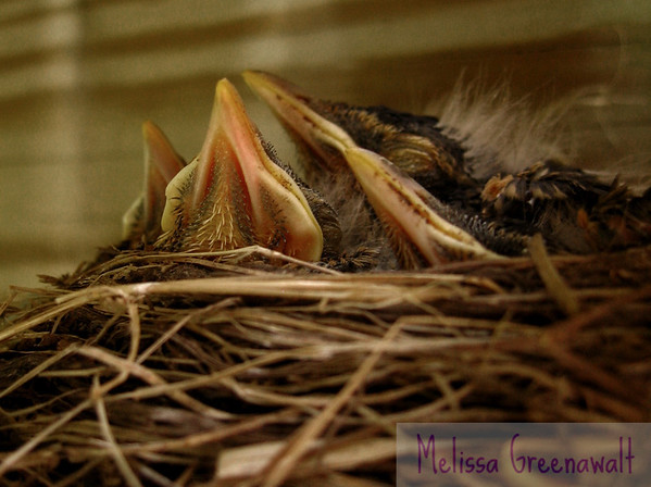 Are these baby robins asleep...or just very, very still?