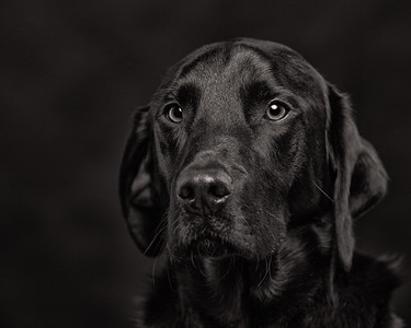 Tye - studio portrait of a black labrador on black. Tye - studio portrait of a black labrador on black.Photographer: Barrie SpencePavilion Photographic Studio