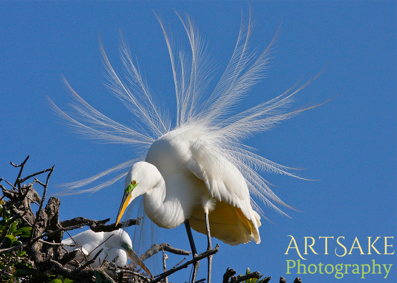 Great Egret and Spouse Building Their Nest