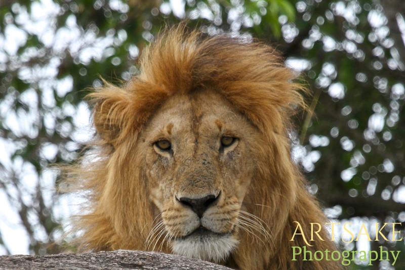 King of the Beasts in Tanzania