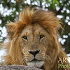King of the Beasts in Tanzania