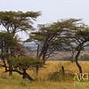 Flat Top Acacias