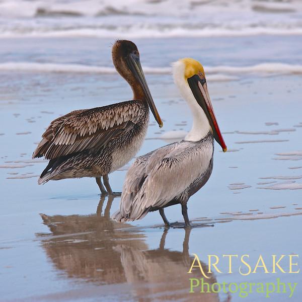 Pair of Brown Pelicans