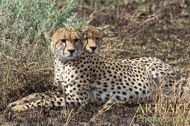 Two Young Cheetahs Playing at Naptime