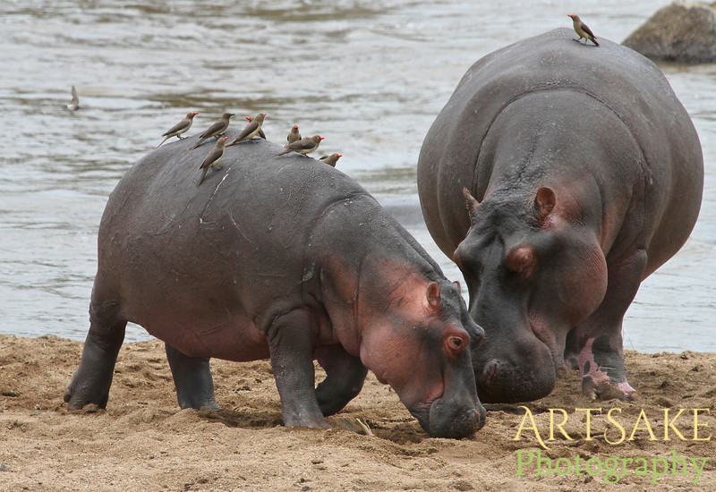 Mother and Daughter Hippos