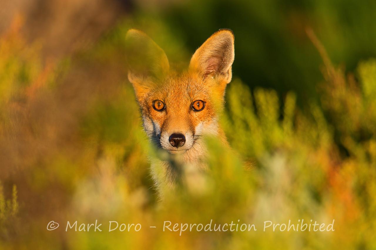 Surprise.  A Red Fox, near Altona, Victoria
